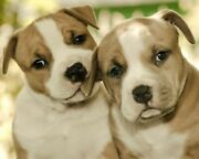 Cvpuzzles American Staffordshire Terrier Puppies 504 Piece Jigsaw Puzzle 16 ...
