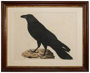 Prideaux John Selby / Hand-colored Etching Raven 1841