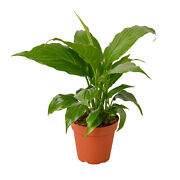 Spathiphyllum And039peace Lilyand039 - 4 Pot