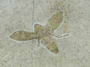 1.2 Rare Winged Flying Insect Fossil Upper Jurassic Age Solnhofen Fm Germany