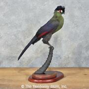 12196 P+ | African Hartlauband039s Turaco Taxidermy Bird Mount - Exotic Parrot Macaw