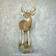 24211 E | Piebald Whitetail Deer Half Life-size Taxidermy Mount For Sale