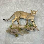 24420 P+ | African Wildcat Life Size Taxidermy Mount