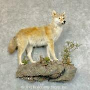 24502 E+ | Golden Coyote Life Size Taxidermy Mount For Sale
