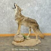 24628 P | Coyote Life-size Taxidermy Mount For Sale