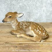 24698 P | Whitetail Deer Fawn Life-size Taxidermy Mount For Sale