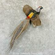 24744 E+ | Lady Amherst's Pheasant Life Size Taxidermy Bird Mount