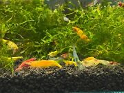 Sale Lovely 10+2 Mixed Colors Cherry Shrimps Combo 1 / Freshwater, Neocaridina