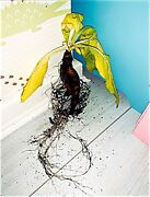 Mandrake | Mandragora Med/large 'lady Tendrils' - Whole Root. Alter/wiccan