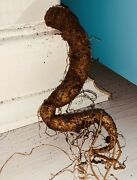 Mandrake | Mandragora Med/large 'twisted Fate' Whole Root. Alter/wicca/wiccan