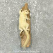 24924 E+   White Squirrel Life-size Taxidermy Mount For Sale