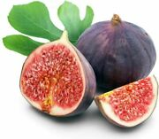 Hirtsbrand Easy To Grow Hardy Live Chicago Edible Fig Plant In 2.5 Pot