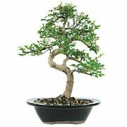 Live And Healthy Beginnerand039s Medium Size Chinese Elm Bonsai Tree For Outdoor Care