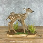 25283 E   Mule Deer Fawn Life-size Taxidermy Mount For Sale