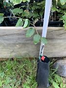Yates American Persimmon Grafted Plant, Bare Root