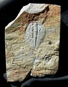 Extinctions- Large Lower Cambrian Olenellus Trilobite From Pa - Very Cool Color
