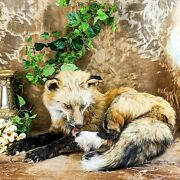 Br40 Taxidermy Oddities Curiosities Ranch Fox Mount Display Collectible Specime