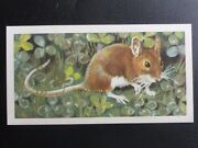 No.33 Long Tail Field Mouse - British Wild Life Bbtl By Brooke Bond And Co. 1958
