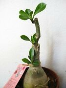 Desert Rose Double Purple Native To Africa Tree Live Plant Flowers Best Gift