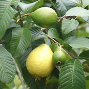 Pink Guavas Ruby Supreme Tropical Fruit Trees