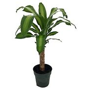 Creme And Green Corn Live Plant Dracaena 6 Pot Easy To Grow House Plant Indoor