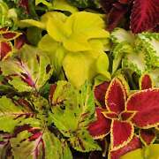 Rainbow Mix Coleus Seeds - Decorative And Ornamental House And Garden Plant