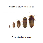 Dubia Roaches - Small Medium Large Xl - Live Feeders Free Shipping
