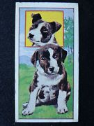 No.24 Staffordshire Bull Terrier Puppies By Molassine Co Ltd Vims Dog Food 1967