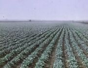 Field Of Cabbage In Somers Wisconsin In 1919 Magic Lantern Glass Slide