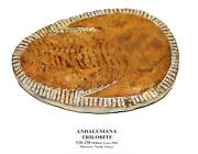 Trilobite Andalusiana Large Moroccan Fossil 520 Million Yrs Old 15044 76o