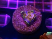 Rc Skittle Bomb Cyphastrea Live Coral
