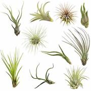 Sale 10 Pack Assorted Tillandsia-easy Care Collection Air Plants Free Shipping