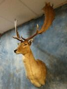 Record Class Fallow Deer Taxidermy Head Mount Quality Antlers Home Cabin Decor