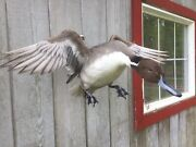Mounted Drake Pintail Duck Taxidermy Waterfowl
