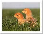 A Baby Chick In Green Art Print / Canvas Print. Poster Wall Art Home Decor - F