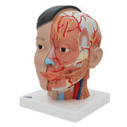 3b Scientific Asian Deluxe Head Model With Neck 4 Part Anatomical C06 New