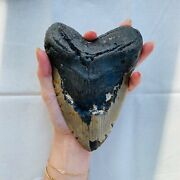 Authentic Megalodon Shark Tooth 6.3 X 4.58 Fossil By Carolina Beach Fossils