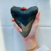 Authentic Megalodon Shark Tooth 5.48 X 4.42 Fossil By Carolina Beach Fossils