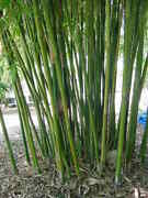 100+ Moso Bamboo Seeds Phyllostachys Pubescens Giant Bamboo