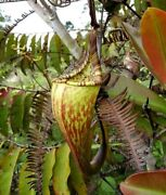 Dusky Pitcher Plant Nepenthes Fusca Carnivorous, 5 Rare Seeds
