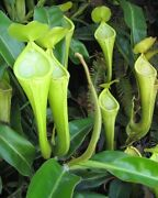 Pitcher Plant Nepenthes Chaniana Carnivorous 5 Seeds