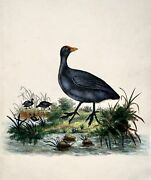 1794 Edward Donovan - Common Coot - Exquisite Hand Coloured Copper Engraving