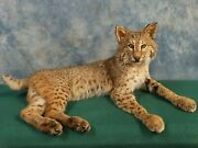 Brand New Large Bobcat Quality Taxidermy Mount Home Hunting Lodge Cabin Decor