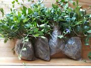 100 Myrtle Vinca Minor Periwinkle Ground Cover For Landscaping Free Shipping