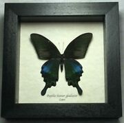 Real Framed Papilio Bianor Gladiator Common Peacock Butterfly P-70