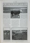 1902 Print Great British Cattle Farms Uruguay Cattle Corral Fray Bentos