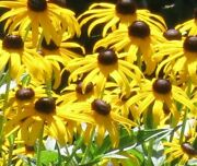 Lot Of 8 Black-eyed Susans Bare Root Perennial Starter Plants Butterflies And Bees