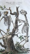 1789 Dated Hand Coloured Print Anatomy Bear And Monkey Skeletons Comparative