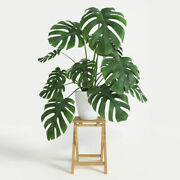 Swiss Cheese Plant Xxxxl Giant Monstera Deliciosa 70cm Delivered To Your Door
