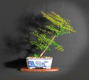 Black Olive Bonsai Tree Wake Up The World Collection From Samurai-gardens
